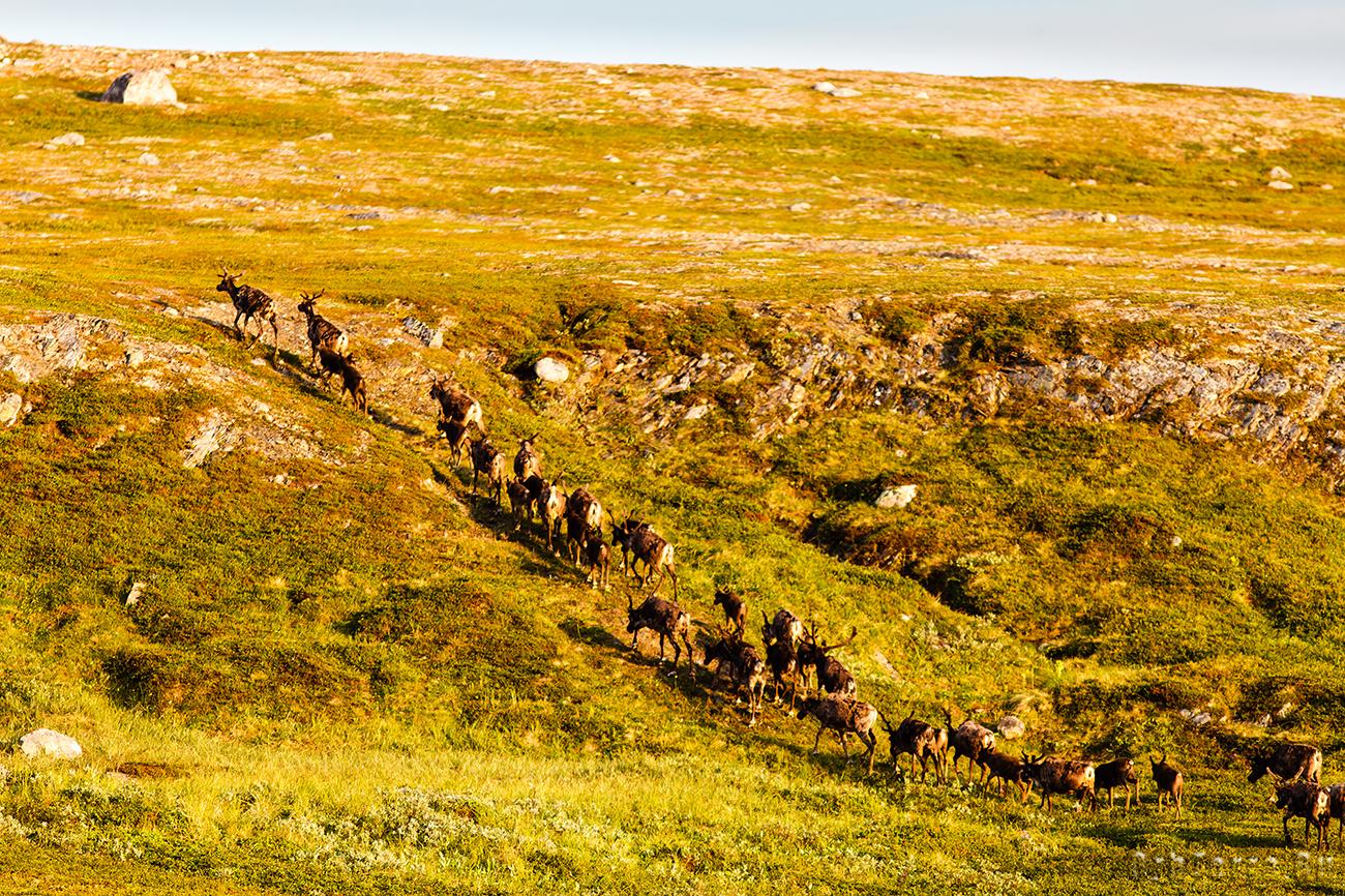 Северные олени.